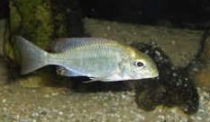 Red Cap lethrinops