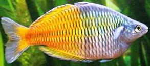 boesemani rainbow