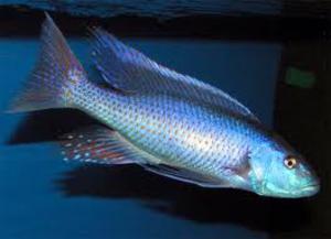 malawi trout adult